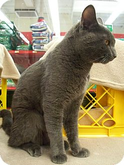 Russian Blue Cat for adoption in Fountain Hills, Arizona - RUFUS
