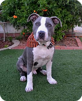 American Pit Bull Terrier Mix Dog for adoption in San Diego, California - Gus