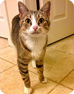 Domestic Shorthair Cat for adoption in Escondido, California - Portland