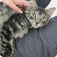 Adopt A Pet :: Tigress - Riverhead, NY