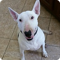 Adopt A Pet :: Stevie - Los Angeles, CA