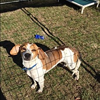Beagle/Hound (Unknown Type) Mix Dog for adoption in Barnwell, South Carolina - Dewey