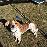 Adopt A Pet :: Dewey - Barnwell, SC