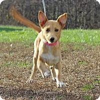 Adopt A Pet :: Aussie - Waldorf, MD