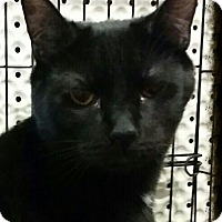 Domestic Shorthair Cat for adoption in Lexington, Kentucky - Johnny Cash