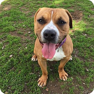 chico ca pit bull terrier mix meet sixty two a dog for adoption. Black Bedroom Furniture Sets. Home Design Ideas