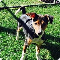 Rat Terrier/Miniature Pinscher Mix Puppy for adoption in Little Elm, Texas - Delilah
