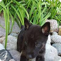 winnipeg mb   german shepherd dog mix meet pointter a