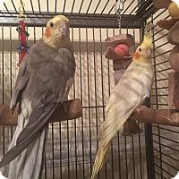 Adopt A Pet :: Percy & Pricilla - St. Louis, MO