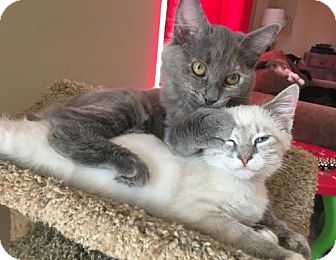 Domestic Mediumhair Kitten for adoption in Columbia, South Carolina - Prince
