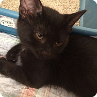 Adopt A Pet :: Sawyer - Salem, OH