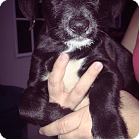 Labrador Retriever Mix Puppy for adoption in Salem, Massachusetts - Aggie
