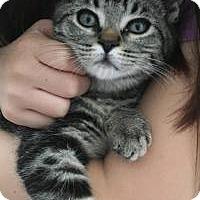 Adopt A Pet :: Tiger - San Carlos, CA