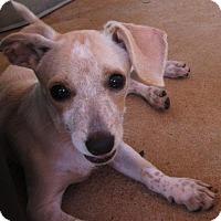 Adopt A Pet :: PIXIE - Williston Park, NY