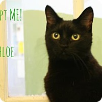 Domestic Shorthair Cat for adoption in West Des Moines, Iowa - Chloe