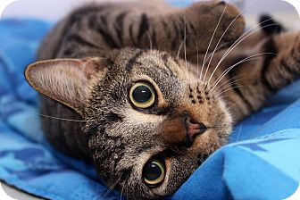Domestic Shorthair Cat for adoption in Wilmington, North Carolina - Sly