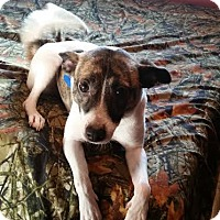 Rat Terrier/Jack Russell Terrier Mix Dog for adoption in Loveland, Ohio - Grace