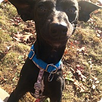 Adopt A Pet :: Pip in CT - Manchester, CT