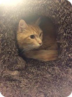 Domestic Longhair Cat for adoption in Wasilla, Alaska - Rusty