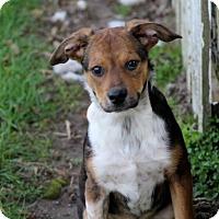 Australian Shepherd/Beagle Mix Puppy for adoption in Liberty Center, Ohio - Lamont