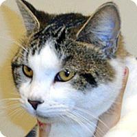 Domestic Shorthair Cat for adoption in Wildomar, California - Veronica
