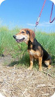 Basset Hound/Beagle Mix Dog for adoption in Littleton, Colorado - Wilma