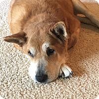 Chow Chow/Shar Pei Mix Dog for adoption in Albemarle, North Carolina - Zoe