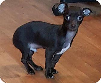 Chihuahua/Dachshund Mix Dog for adoption in Baileyton, Alabama - Earnhardt