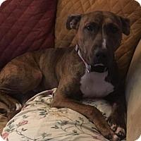 Adopt A Pet :: Keela Gentle Mama Doggie - Rowayton, CT