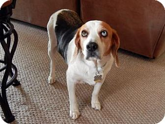 Beagle Mix Dog for adoption in Phoenix, Arizona - Casper
