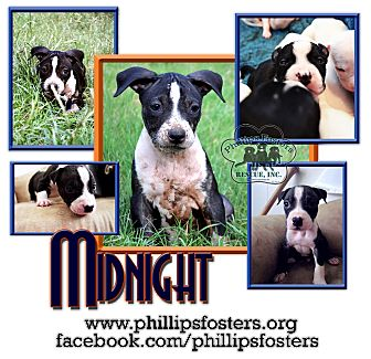 American Bulldog/American Pit Bull Terrier Mix Puppy for adoption in Colleyville, Texas - Midnight