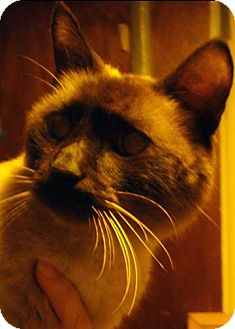 Siamese Cat for adoption in St. Louis, Missouri - Coco