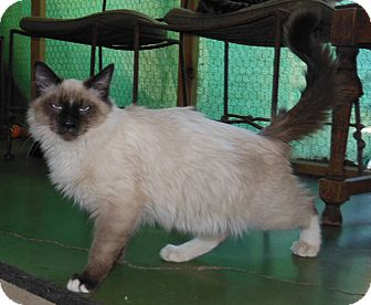 Ragdoll Kitten for adoption in Mission Viejo, California - Raggs