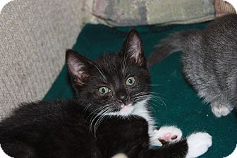 Domestic Shorthair Kitten for adoption in Little Falls, New Jersey - Licorice (LE)