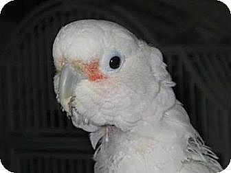 Cockatoo for adoption in Northbrook, Illinois - Zachary