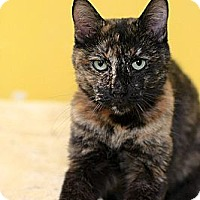 Domestic Shorthair Cat for adoption in Dallas, Texas - PAT