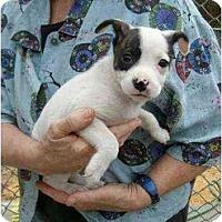 Adopt A Pet :: Suri - Lincolndale, NY
