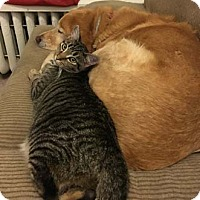 Adopt A Pet :: Razzle - Merrifield, VA