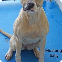 Adopt A Pet :: Mustang Sally - Old Saybrook, CT