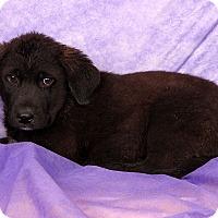 Adopt A Pet :: Nathan Pyrmix - St. Louis, MO