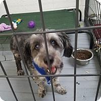 Adopt A Pet :: Pooh - Las Vegas, NV