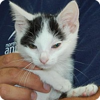 Adopt A Pet :: Felix - Brooklyn, NY