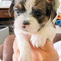 Adopt A Pet :: NUGGET - Adoption  Pending - Hurricane, UT