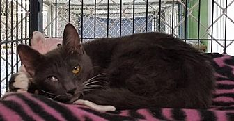 Domestic Shorthair Cat for adoption in Freeport, New York - Sally