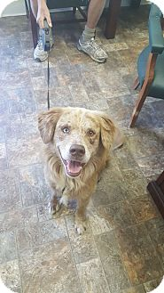 Australian Shepherd/Golden Retriever Mix Dog for adoption in Anderson, Indiana - Hyde