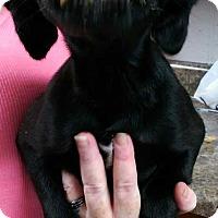 Chihuahua/Labrador Retriever Mix Puppy for adoption in Lexington, Tennessee - Abigail