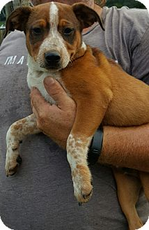 Australian Cattle Dog Mix Puppy for adoption in Albany, North Carolina - Josh