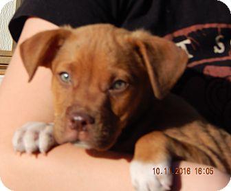 German Shepherd Dog/English Bulldog Mix Puppy for adoption in Williamsport, Maryland - Wrangler (8 lb) Video!