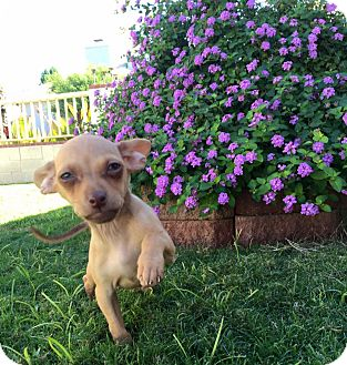 Chihuahua Puppy for adoption in Phoenix, Arizona - Zoey