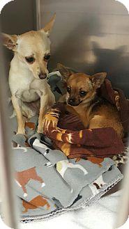 Chihuahua Dog for adoption in Mary Esther, Florida - Snowflake